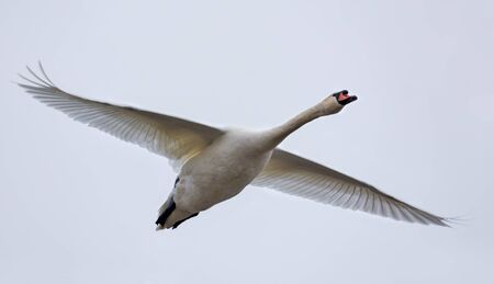 Adult mute swan in flight with stretched wings over light sky