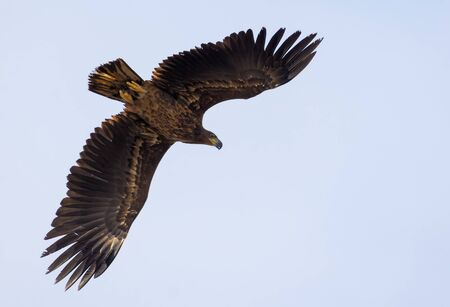 Young White-tailed eagle soars and banks in light sky with wide spreaded wings