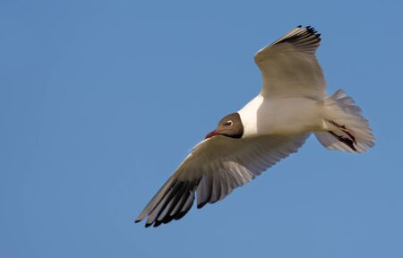 Black-headed gull flying over blue sky with stretched wings