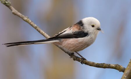 Adult Long-tailed Tit perched on small branch in spring breeding season Stock fotó