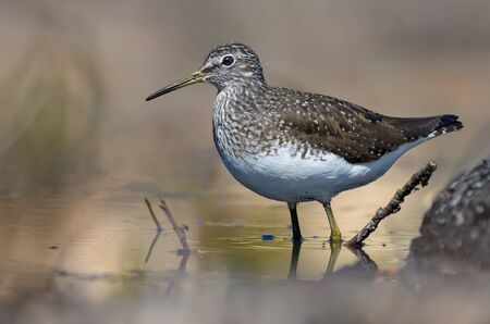 Green Sandpiper stands in water of small forest lake in bright sunny day Stock fotó
