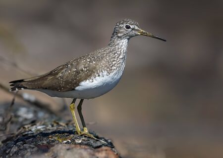 Green Sandpiper perched on big fallen tree in the woods