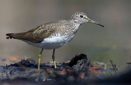 Bright sunny Green Sandpiper goes in mud water shore in the forest Stock fotó