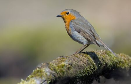 European Robin good posing on a moss covered old tree trunk Stok Fotoğraf