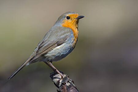Adult European robin stands on top of small stick of wood in sunny day