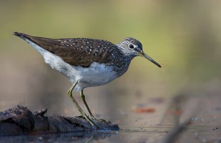 Green Sandpiper stands on wooden barrel in water pond