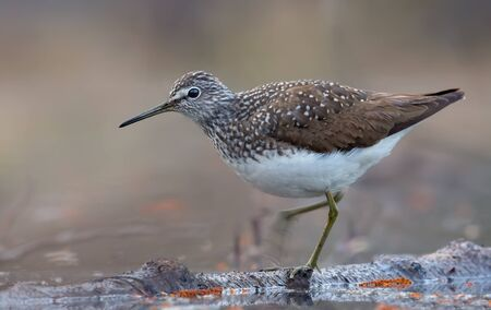Green Sandpiper stands on floating on water tree trunk with lifted leg