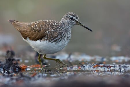Mature Green Sandpiper wades in water near a lake shore in early spring