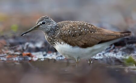 Adult Green Sandpiper walks through deep forest river in spring