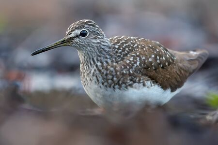 Green Sandpiper close posing for a portrait on forest ground