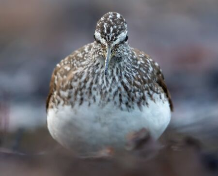 Angry Green Sandpiper shows off his sharp beak from close distance while looking towards camera Stock fotó
