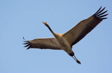 Common Crane in soaring flight up in blue sky
