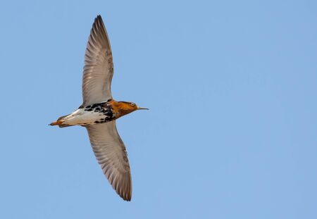 Adult male Ruff flies high in clear blue sky with long wings