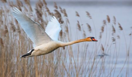 Adult mute swan in rapid flight over river reeds in early spring