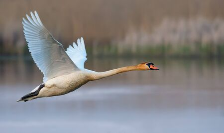 Adult mute swan flying with strethed wings over river surface and shore