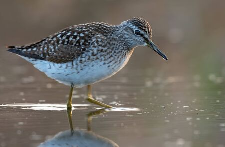 Wood sandpiper goes through water in search of insects and other food