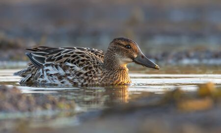Female Garganey swims in yellow colored water pond in the morning light