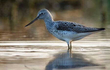 Common greenshank stands amid colorful morning water in spring Stock fotó