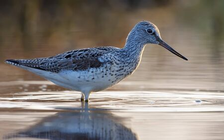 Adult Common greenshank close distance posing deep in bright water