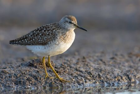 Adult Wood sandpiper stands on a muddy river shore in spring Stock fotó