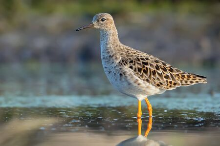 Adult female Ruff stands in colorful water of small river in spring