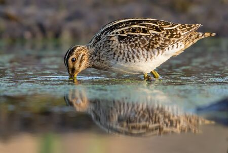 Common snipe probes water and ground bottom in search of food in spring