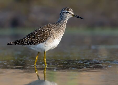 Wood sandpiper posing in green water with great light Stock fotó