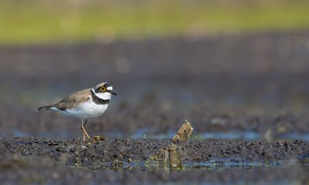 Little ringed plover stands amid wet muddy land near a lake