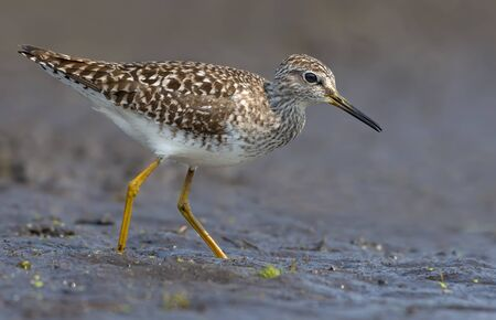 Wood sandpiper in search of food in damp muddy soil