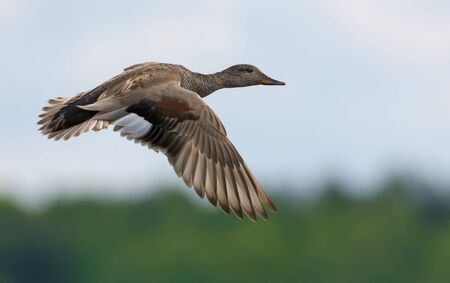 Male gadwall flies over green background with clear speculum on the wings