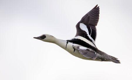 Male smew in flight over light sky in breeding season