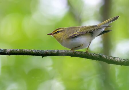 Adult male wood warbler perched with lifted tail on small branch in green woods