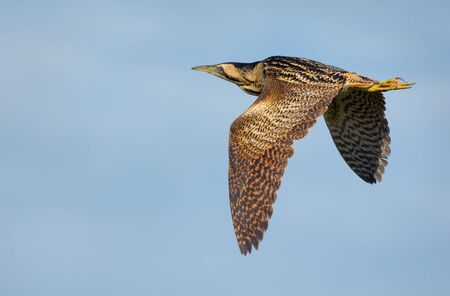 Mature Eurasian bittern flies with fully spreaded wings from above and stretched legs