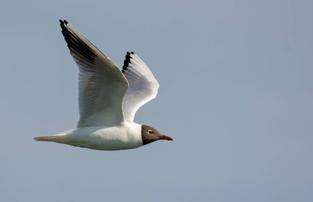 Black-headed gull flying straight over cloudy sky with lifted wings