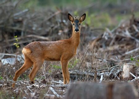 Male Roe Deer stands alone and sadly in cutted forest clearence