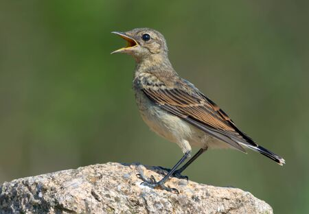 Northern Wheatear posing on big rock with open beak being thirsty or calling loudly