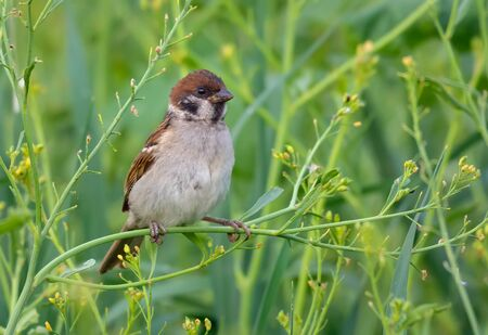 Summer time eurasian tree sparrow posing in greeny grass plants for a decent portrait Stock fotó