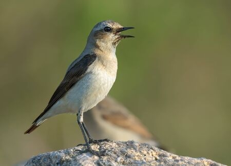 Female Northern Wheatear perched on large stone with open beak being thirsty and calling loudly Stock fotó