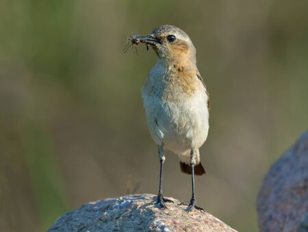 Mother Northern Wheatear posing on rock with full beak of insects for young children