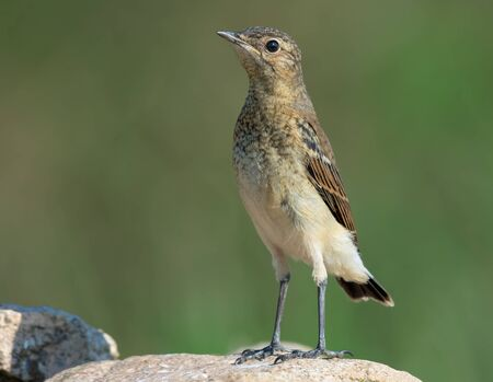 Young Northern Wheatear stands upright on rock in summer breeding time