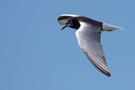 White-winged black tern (Chlidonias leucopterus) hover in blue sky in search of food with spreaded wings