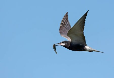 Adult Black tern (Chlidonias niger) flies swiftly in blue sky holding small fish in beak for children in nest
