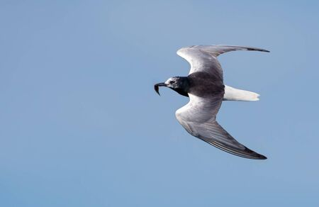 White-winged black tern (Chlidonias leucopterus) flying in blue sky with small fish in beak for children Stock fotó