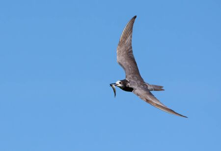 Black tern (Chlidonias niger) flying in blue sky with small fish catch in beak for young nestlings Stock fotó