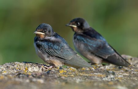 Two young barn swallows chicks posing in sweet light on lichen covered concrete