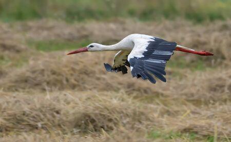 White stork in razor shave flight over bare straw field in summer