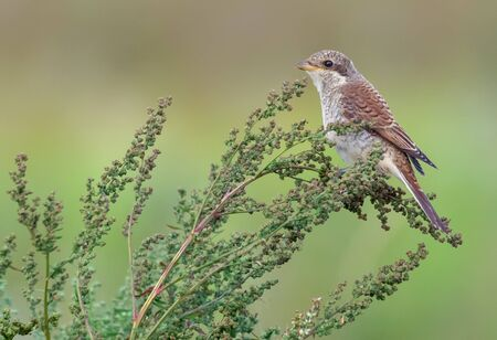 Young Red-backed shrike posing on flowering plant spikes in summer Stock fotó