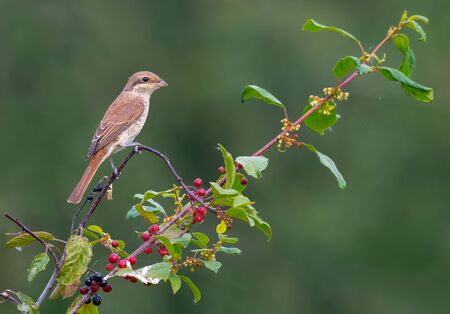 Young or female Red-backed shrike perched on buckthorn branch with flowers and berries in summer