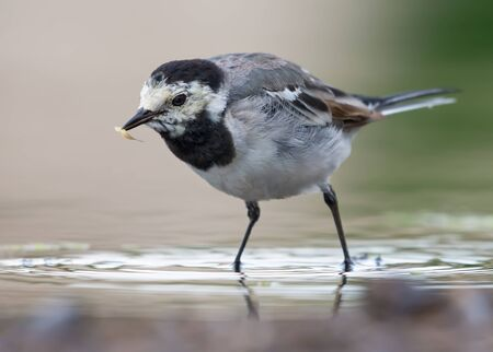 Adult White wagtail stands in shallow water with catched insect larva in the beak