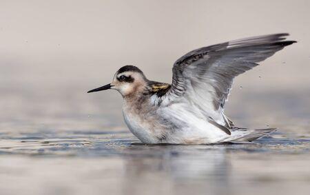 Rothalsphalarope versucht am Sommertag mit angehobenen Flügeln aus warmem Wasser mit sauberem sauberem abzuheben